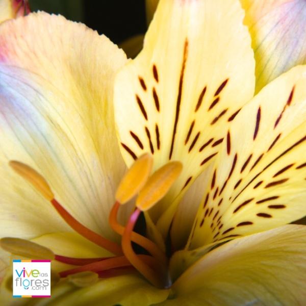 Alstroemeria Amarilla de vivelasflores.com  Flor de color vibrante que iluminara cualquier espacio!