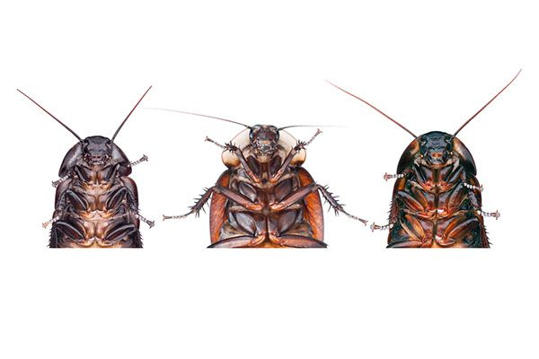 Cockroach Images and Identification FAQS   Are you worried your home may have cockroaches? Take a look at a few cockroach pictures to help you identify whatever culprit may be hiding in your home.