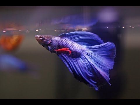 17 best images about aquarium betta fish on pinterest for Betta fish temp