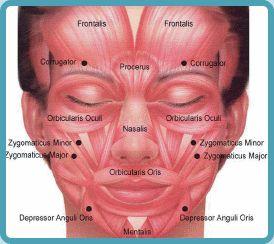 Medical Transcription: Facial muscles