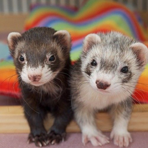 These look like my first rescued ferret, Baby from when I was like 6 or 7, and what I'm sure is her reincarnation, Kraken who just found us last summer. <3