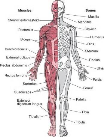 The 31 best Human Anatomy - Muscles images on Pinterest | The human ...