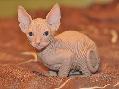Gorgeous sphynx kitten for sale for $550