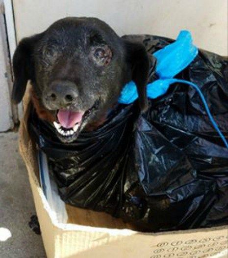 SAVE BLACKIE!!  Whenever one thinks they may have seen the most heartless situation at an open admission animal shelter, another soulless act occurs; this time tears flowed freely down the cheeks of volunteers and shelter staff at Carson Animal Care.Blackie's family surrendered their ten-year-old Welsh Corgi wrapped in a plastic garbage bag – carrying her in a …