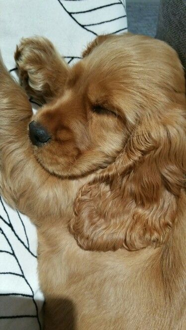 Lola cocker anglais golden 3 mois