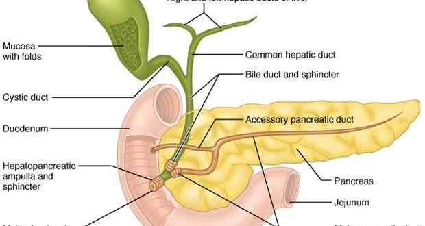 Diagram Of Pancreas Auto Electrical Wiring Diagram