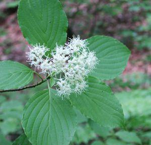 Cornus alternifolia Alternate Leaf Dogwood - Mail Order Natives