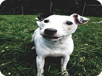 Waterford, VA - Parson Russell Terrier. Meet TROOPER, a dog for adoption. http://www.adoptapet.com/pet/18533317-waterford-virginia-parson-russell-terrier