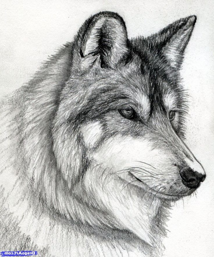Sketch Images For Drawing: Pencil Sketches Of Wolves 1000+ Ideas