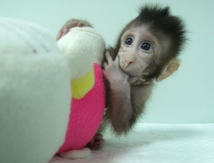 """The first primate clones made by somatic cell nuclear transfer are two genetically identical long-tailed macaques born recently at the Chinese Academy of Sciences Institute of Neuroscience in Shanghai. Researchers named the newborns Zhong Zhong and Hua Hua—born eight and six weeks ago, respectively—after the Chinese adjective """"Zhonghua,"""" which means Chinese nation or people. The technical milestone, presented January 24 in the journal Cell, makes it a realistic possibility for labs ..."""