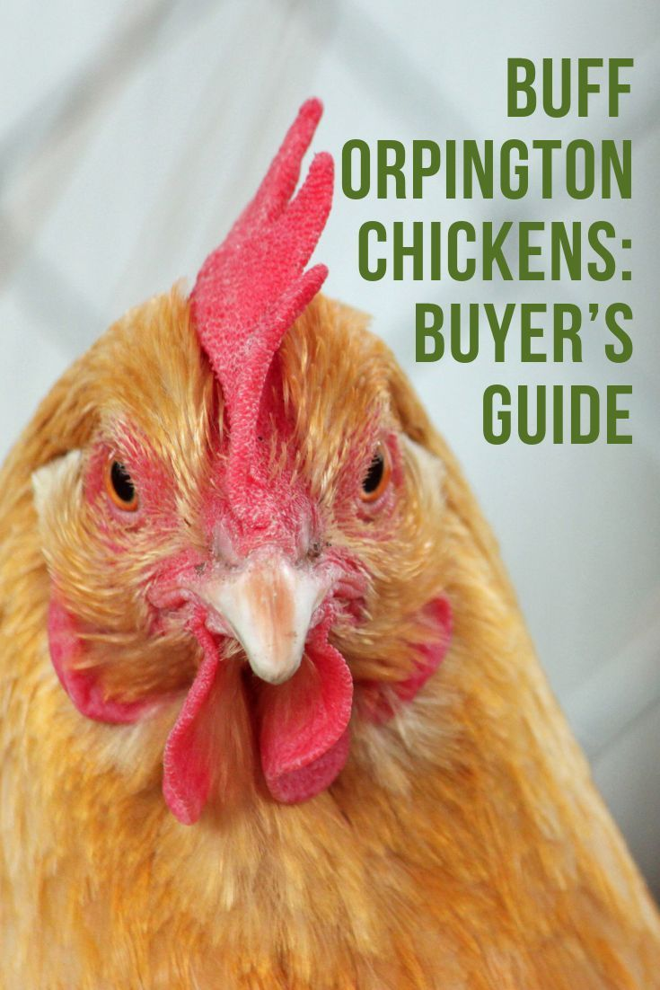 Buff Orpington Chickens Buyer S Guide Dee