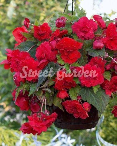 Begonie Pendula Red | Sweet Garden