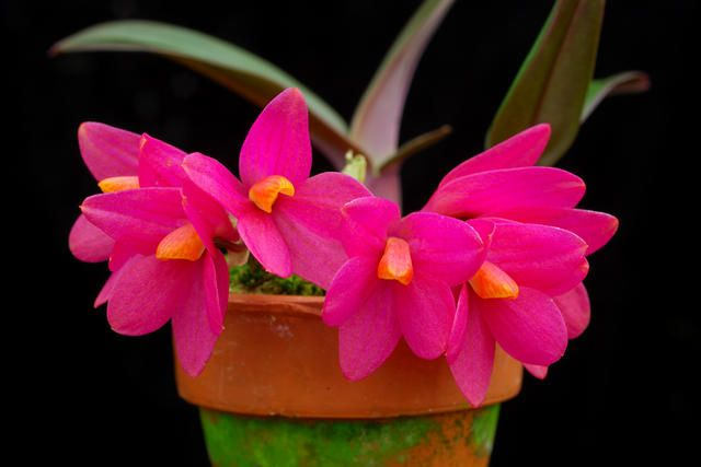 Dendrobium laevifolium 'Plum' (Golden Gate Orchids): Gates Orchids, Galleries, Orchids Perfect, Golden Gates, Orchid