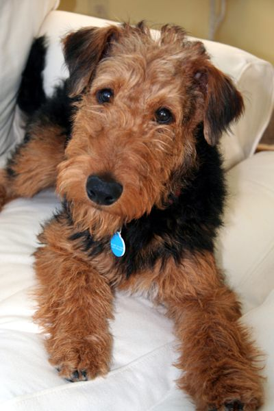 OMG this sweet Airedale is just absolutely adorable