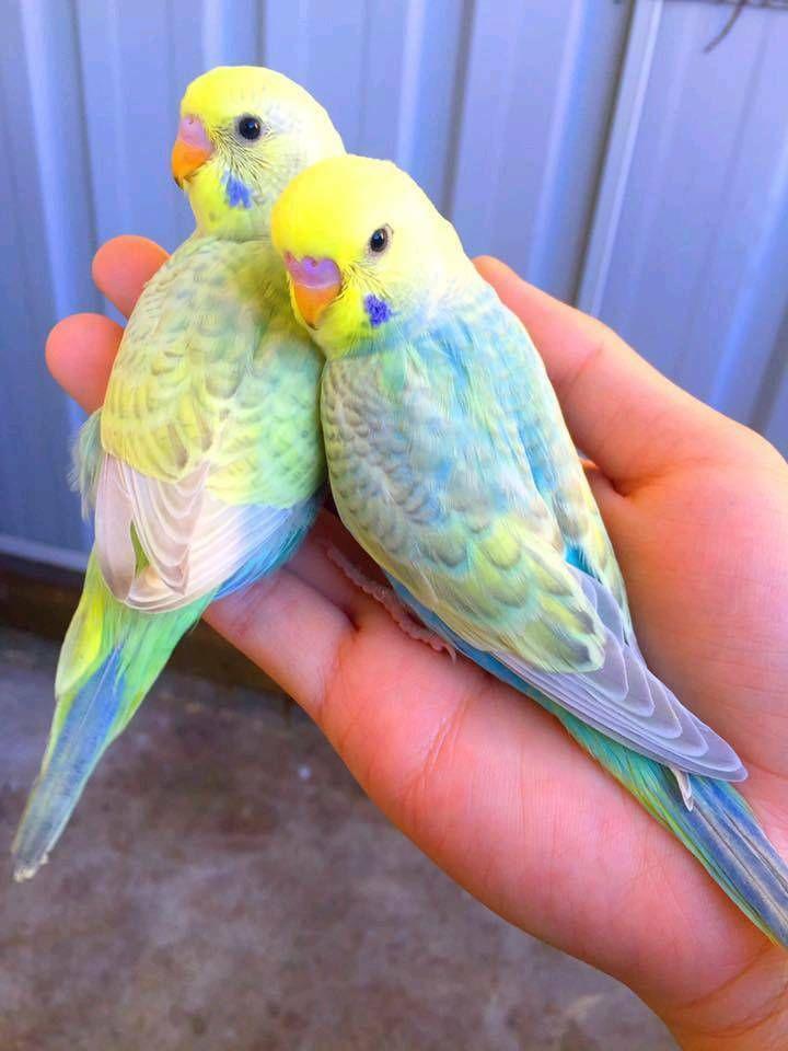 Handzahme Nestjunge Rainbow Wellensittiche In Ver Farben