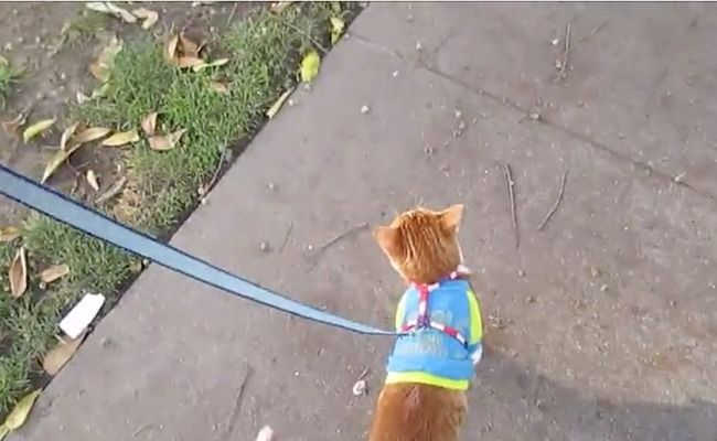 Daily Cute: Adorable Cat Leads Owner On Walk | Care2 Healthy Living