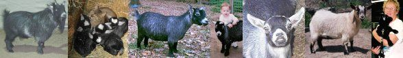 The National Pygmy Goat Association (USA) has good resources about goat health