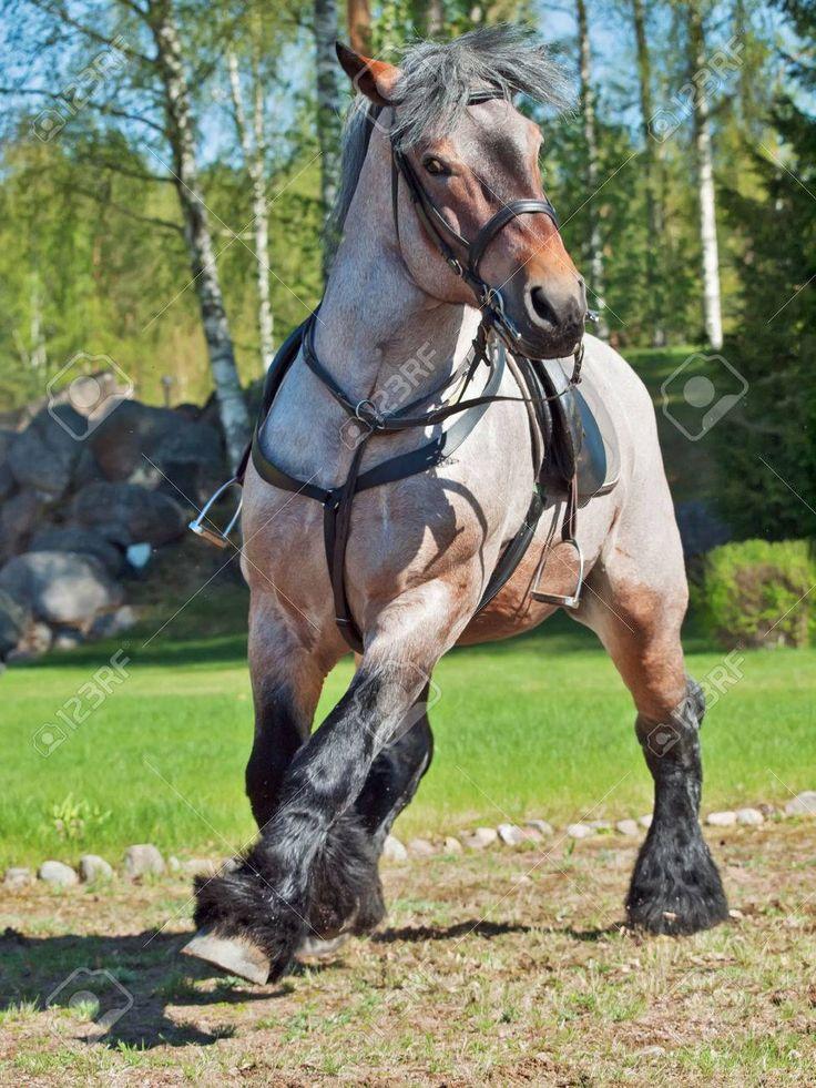 E' un cavallo originario del Belgio, svolge lavori agricoli e da tiro pesante. Il Brabantino, conosciuto durante il Medioevo come Cavallo delle Fiandre, svolse un ruolo importante nella costituzione di diverse razze equine quali il Clydesdale, lo Shire e il Suffolk Punch.