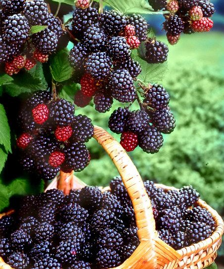 boy and blackberries Another common source of food poisoning is berries, including strawberries,  raspberries, and blackberries a 1997 outbreak that sickened thousands of  children.