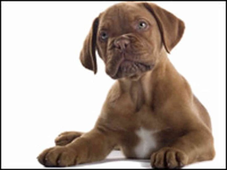 dogs | French bull mastiff puppy dog can feel jealousy, too.