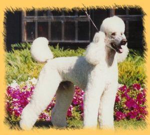 The Enchanted Poodle Club, Inc. - Poodle Rescue
