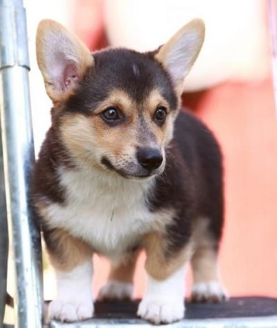 Small Dogs For Sale In Manitoba