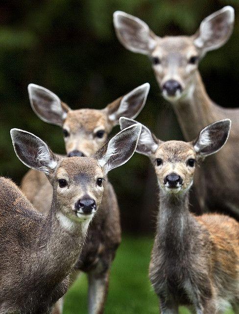 Deer family portrait. ❤️. #deer #family