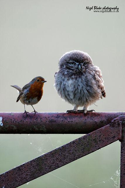 Little Owl, Athene noctua, juvenile and European Robin, Erithacus rubecula
