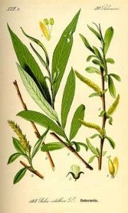 Information on the Side Effects and Health Benefits of the Herb White Willow Bark (Salix alba) and Its Traditional Uses and Medical Properties