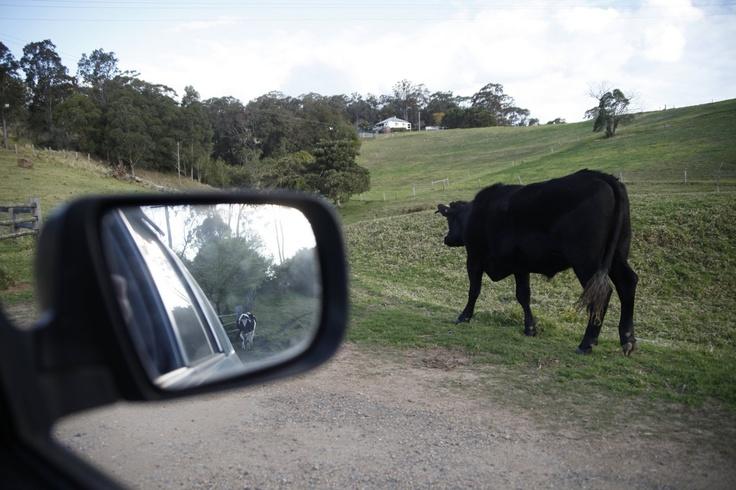 Mooooove. Mount View, Hunter Valley, NSW