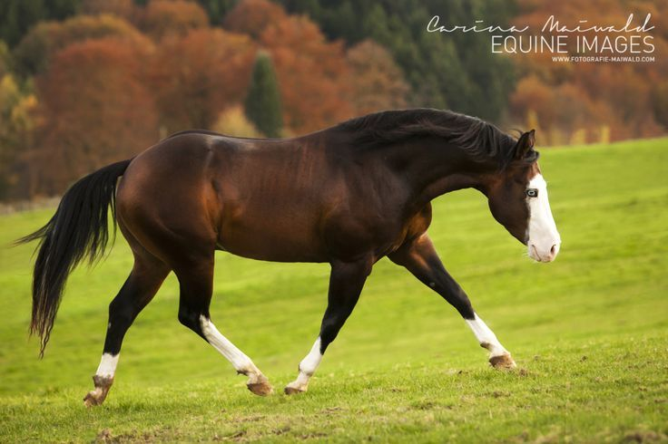 bay splash white – Quarter Horse Hengst Colonel BN Nightstar