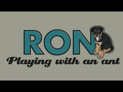 Hi, I´m a puppy Rottweiler and this is a short about me playing with my little friend Lula, The Ant. I love play with all kind of animals, although sometimes, they are so small and suddenly disappear... #ron #rottweiler #rottie #puppy #puppies #dog #doggy #cute #pet #pets #funny #play #playing #ant #hotmiga #dominican republic #caribbean #fight