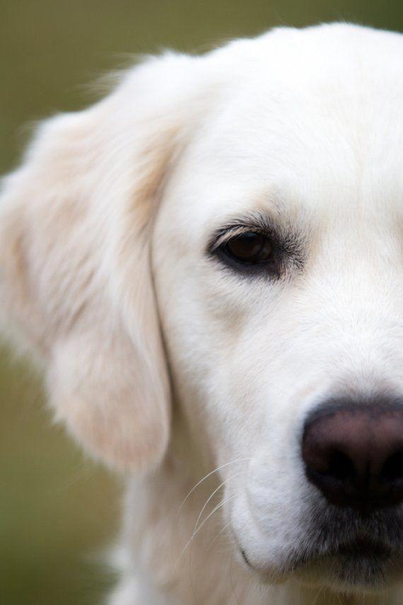 Charming Dog Puppy Dog Images Golden Retriever Retriever Puppy