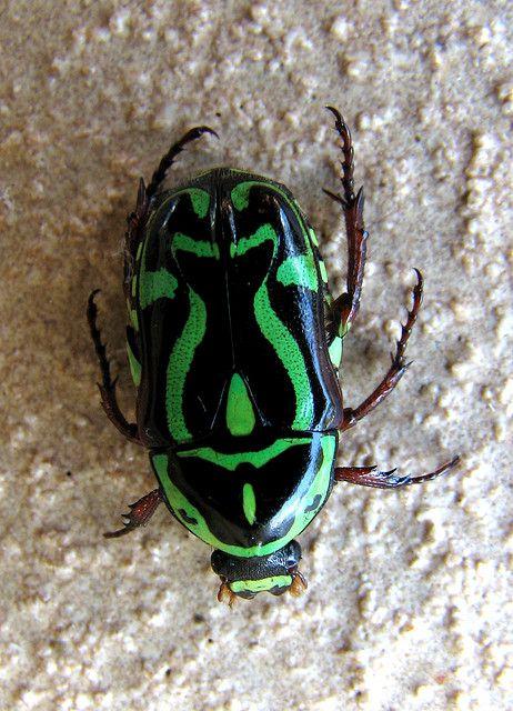 Beetles: Order Coleoptera