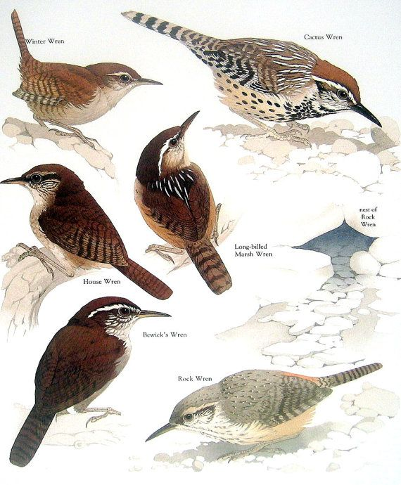 Wrens - Winter Wren, Rock Wren, Cactus Wren, House Wren - 1984 Vintage Birds Book Page. $10.00, via Etsy.
