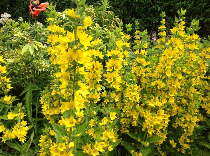 Bright yellow for the Summer garden