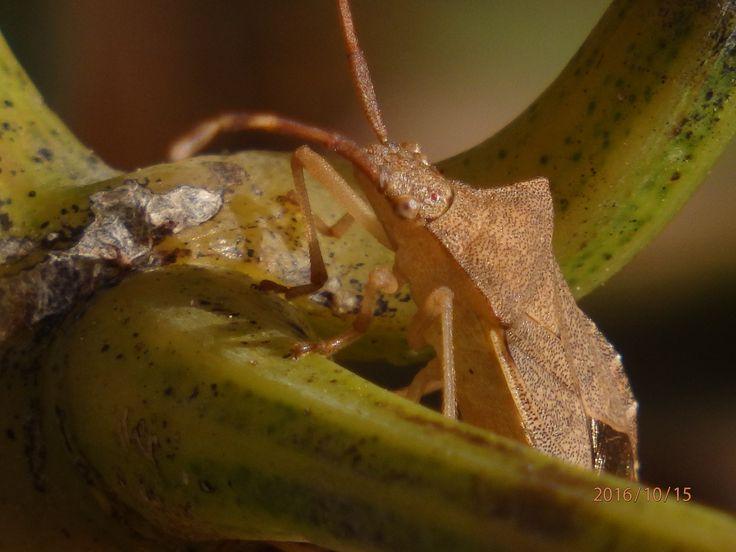 Bzdocha (Heteroptera)