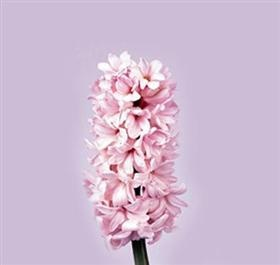 Hyacinth China Pink: Pink Flowers, Flowers Libraries, Flowers Bouquets, Flowers Guide, Flowers Flowers, Flowers Hyacinth, Flowers Z N Floral Z, Cut Flowers