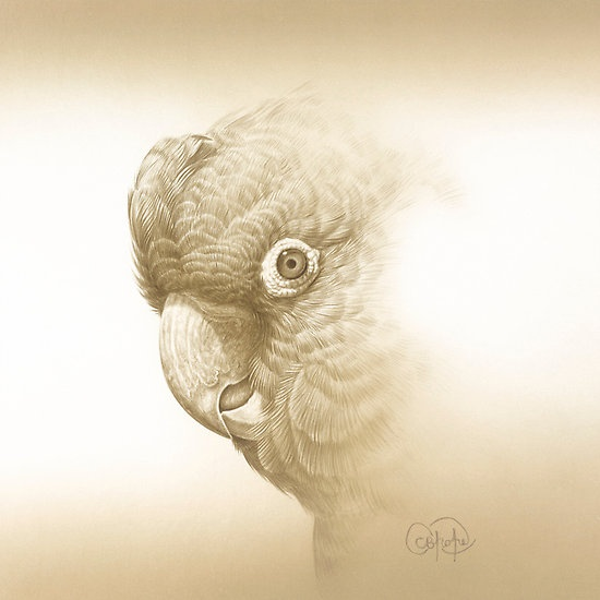 Yellow-tailed Black Cockatoo painting
