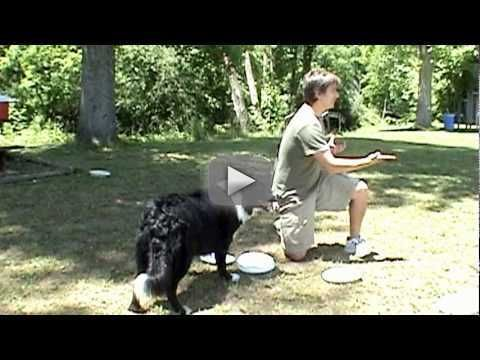 Dog Training: How To Teach Your Dog To Play Frisbee (multiples) - www.dtworld.com Mention this video to get a 10% discount on discs!: A lesson on teaching your dog to catch multiple