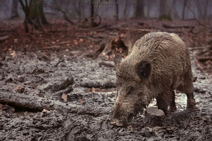 Wild Boar - Wild boar in muddy woods of Blackforest Germany   #wildpig #wildboar #wildlife #autumn #boar #dirty #female #forest #germany #hog #mud #pig #scavenging #schwarzwald #sus #scrofa #wet #wild