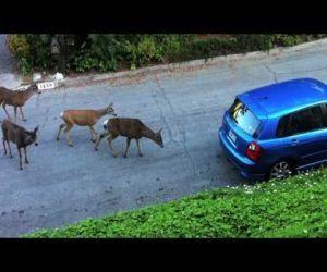 Semi-Brave Cat Encounters Six Deer: Deer Meeting, Meeting Cat, Semi Brav Cat, Semibrav Cat, Cat Encount, Tiny Cat, Favorite Videos, Mel Videos, Cat Videos