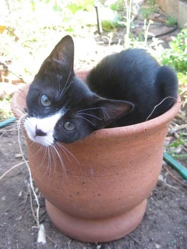 Missing Black & White Kitten — Beulah Park, SA