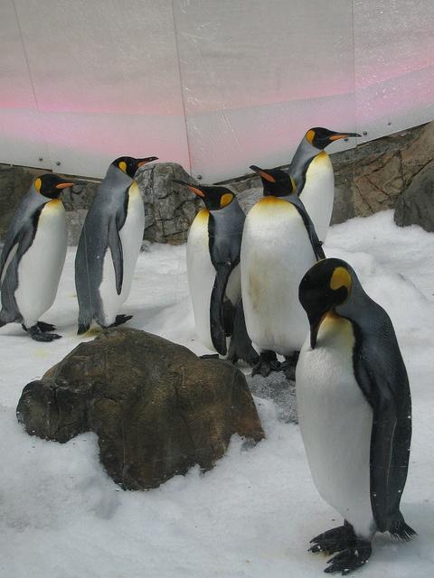 Emperor Penguins at Melbourne Aquarium