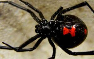 Aranhas Venenosas - Viúva negra