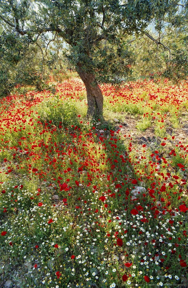 Image detail for -Greece, Peloponnese, poppies and tree