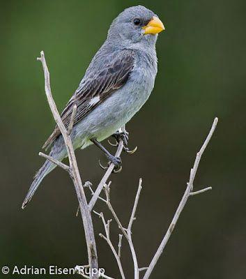 patativa tropeira_sporophila beltoni Brazilian Birds