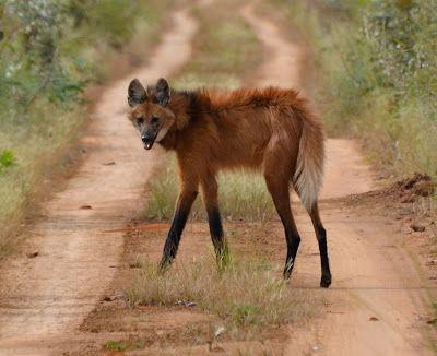 Lobo Guará (Maned Wolf or Chrysocyon brachyurus) - Emas National Park - Goiás, Brazil