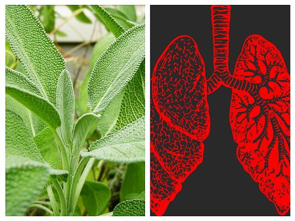 Salvia - Cancer Pulmonar