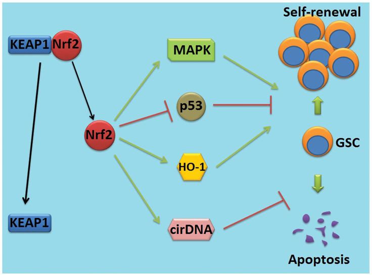 Targeting the NF-E2-related factor 2 pathway: A novel strategy for glioblastoma (Review)
